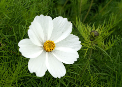 perfect white cosmos - 'growourown.blogspot.com' - an allotment blog