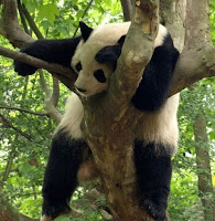 панда спящая на дереве фото