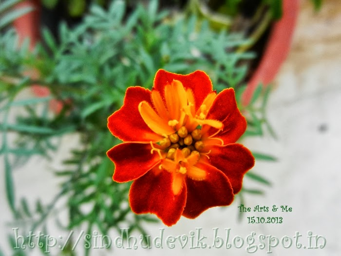 Marigold flower with single layer of petals