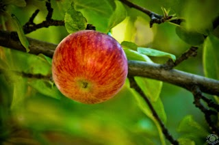 Cramer Imaging's professional quality nature and fruit photograph of a red apple on an apple tree in Pocatello, Bannock, Idaho