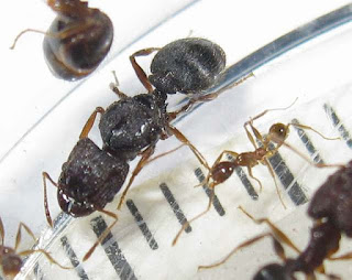 Gyne of Pheidole sp and a minor worker