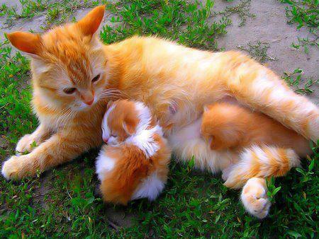 Gatitos madre e hijo color naranja