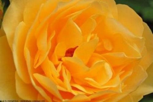 Rosa amarela. #PraCegoVer