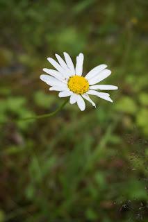 päivänkakkaran kukka