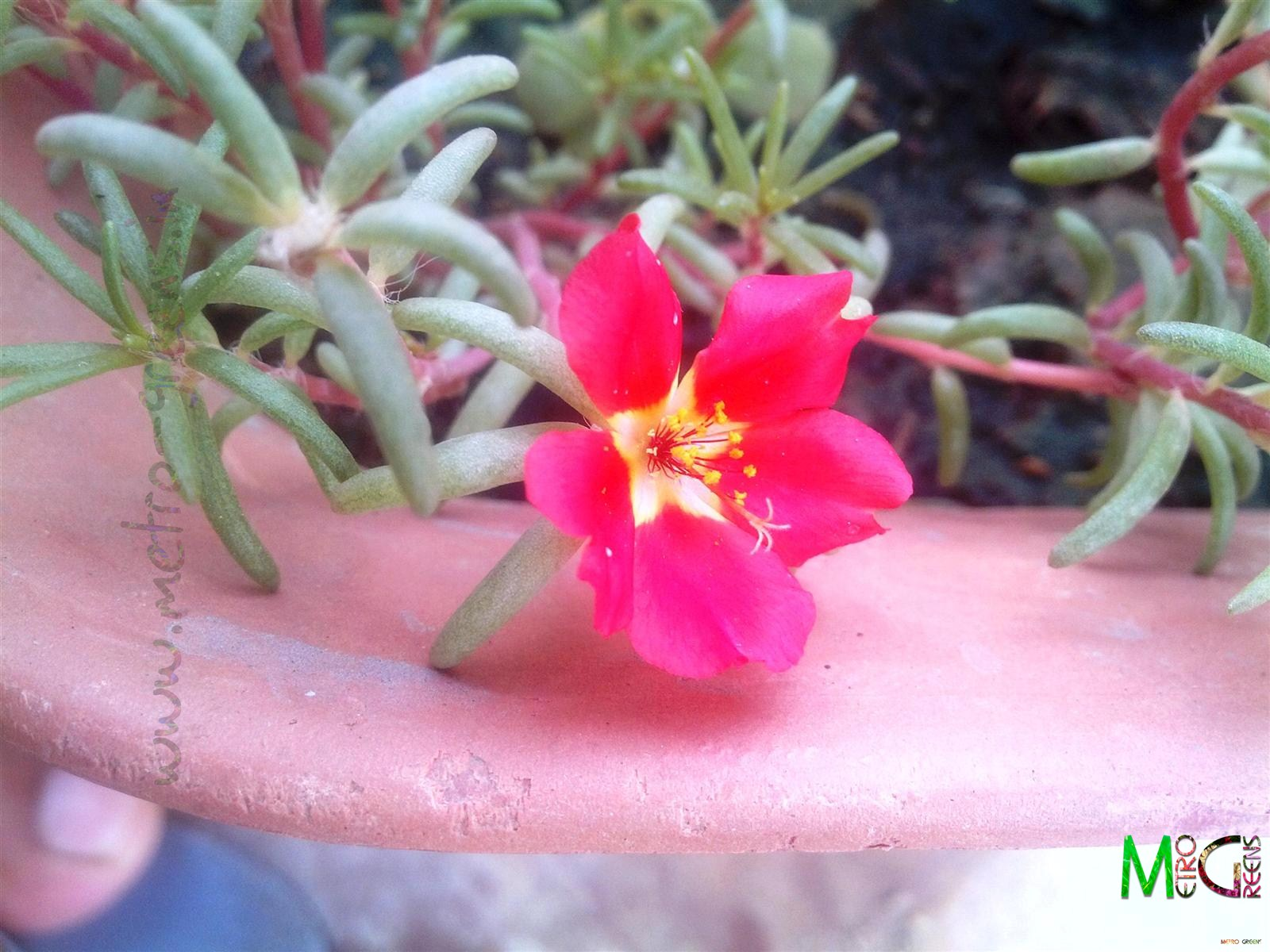 Metro Greens: A red portulaca bloom.