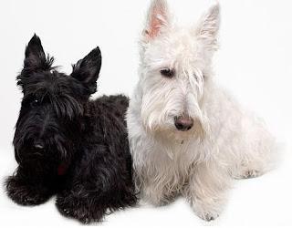 razas de perros pequeños terrier escoces