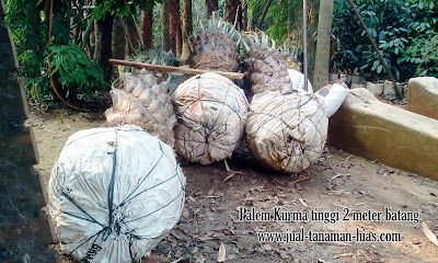Bibit Palem Kurma | Jual Tanaman Kurma | Pohon Korma hias