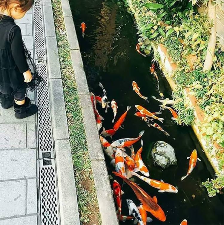 "The drainage canal in Japan are so clean that the beautiful Koi fish swim happily in their waters. These graceful fish adorn the rainwater drainage canal along the sidewalks and streets.The Koi Fish is known for its ability to swim upstream.These are highly appreciated in Asian culture, being mentioned in the Chinese legend ""The Dragon Gate"" because, after overcoming obstacles, it can turn into a sacred dragon."