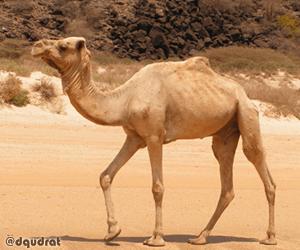 Unta Arab - Camelus Dromedarius