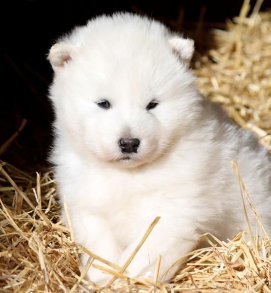 Beautiful White Alaskan Malamute Puppies Photos | Cute ...