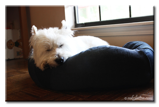 Pierre Westie snoozing on his bed