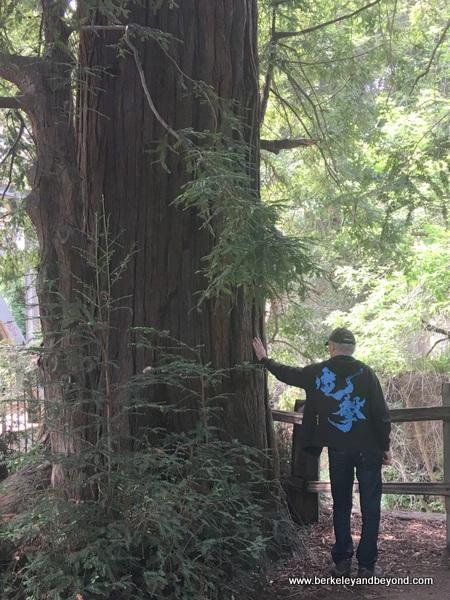 namesake El Palo Alto tree in El Palo Alto Park in Palo Alto, California