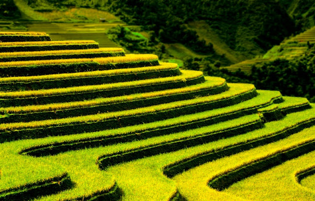 Terraces Fields - brand of Northern Vietnam. 1