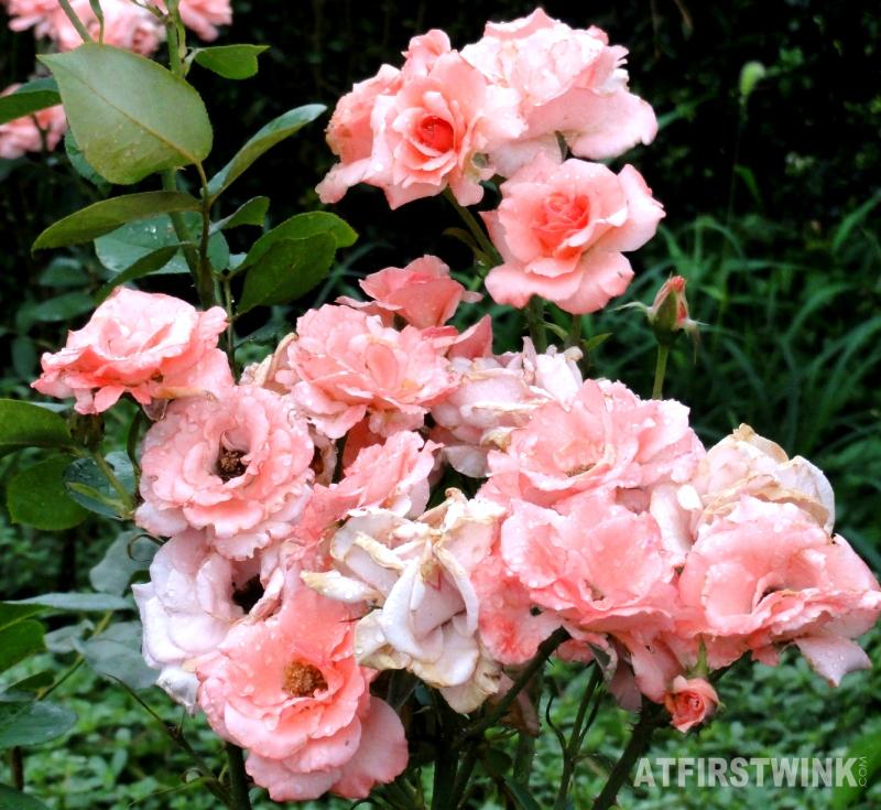 Shinjuku Gyoen 新宿御苑 grouped pink roses