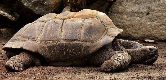 tortoise,star tortoise
