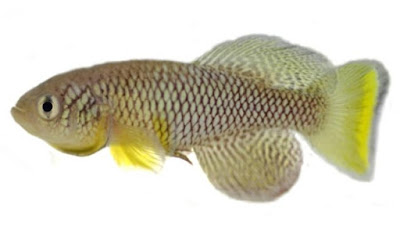 Evolutionists try to claim that killifish are examples of evolution, but further studies show that they defy evolution and support special creation.