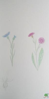 rysunek, projekt zielnik, chaber łąkowy i bławatek, jasieniec, Centaurea, kwiaty, różowy, niebieski, róż, błękit