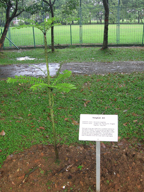 Cây Bách Bệnh - Eurycoma longifolia - Nguyên liệu làm thuốc Chữa Bệnh Tiêu Hóa