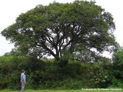 arboles nativos Aliso del cerro Alnus acuminata