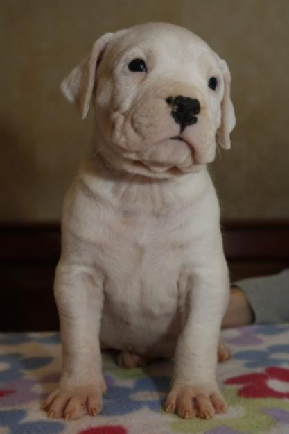 Dogo Argentino Puppy Best Pictures Puppy Photos Collection