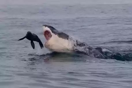 Jaws of death:terrifying photos as great white shark ...