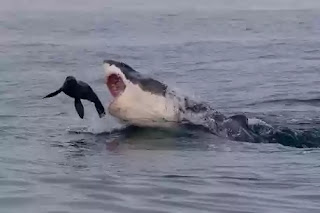 Great white shark attacks baby seal