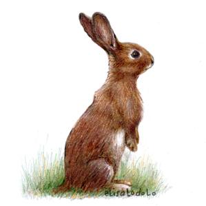 El draghillo animale del mese lepre for Lepre disegno da colorare