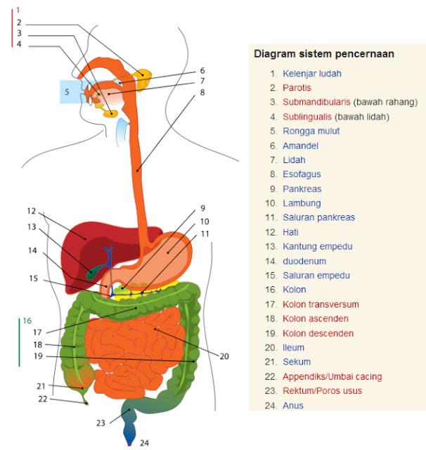 Bagian-Bagian Sistem Pencernaan Pada Manusia