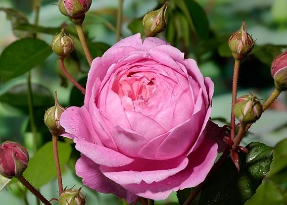 Alan Titchmarsh роза сорт