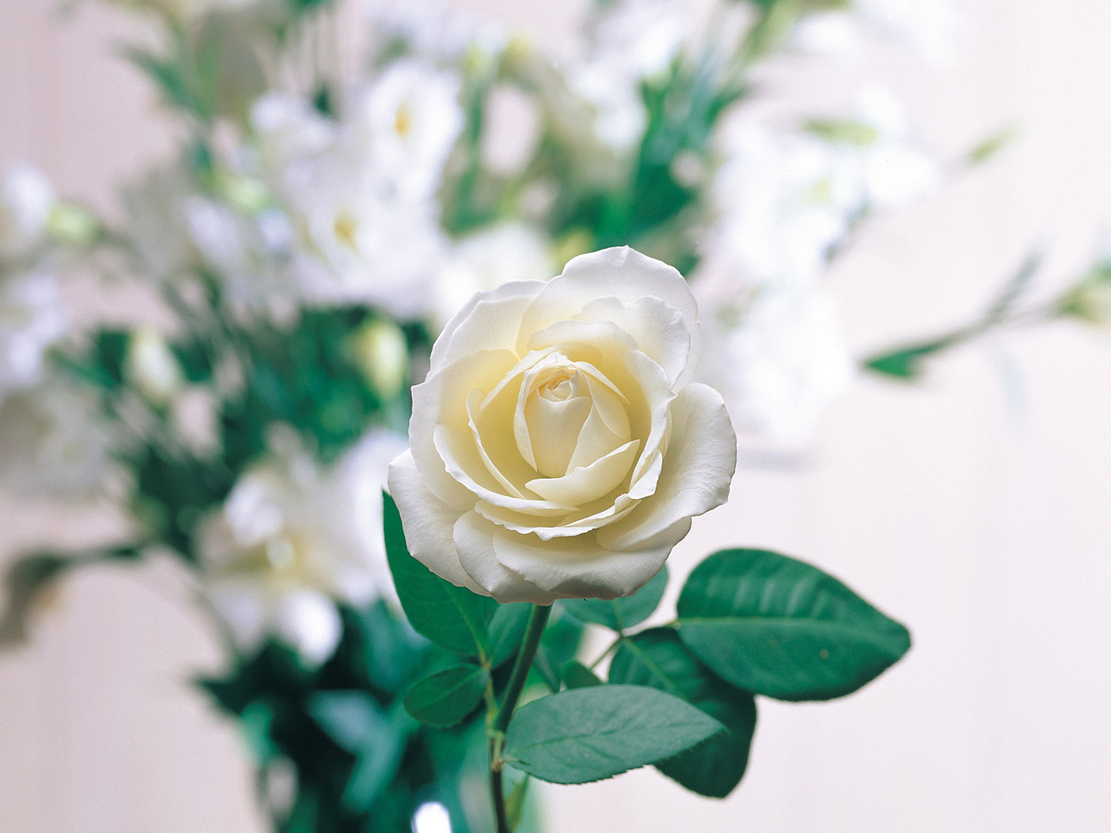 Loving White Rose Flowers Wallpapers