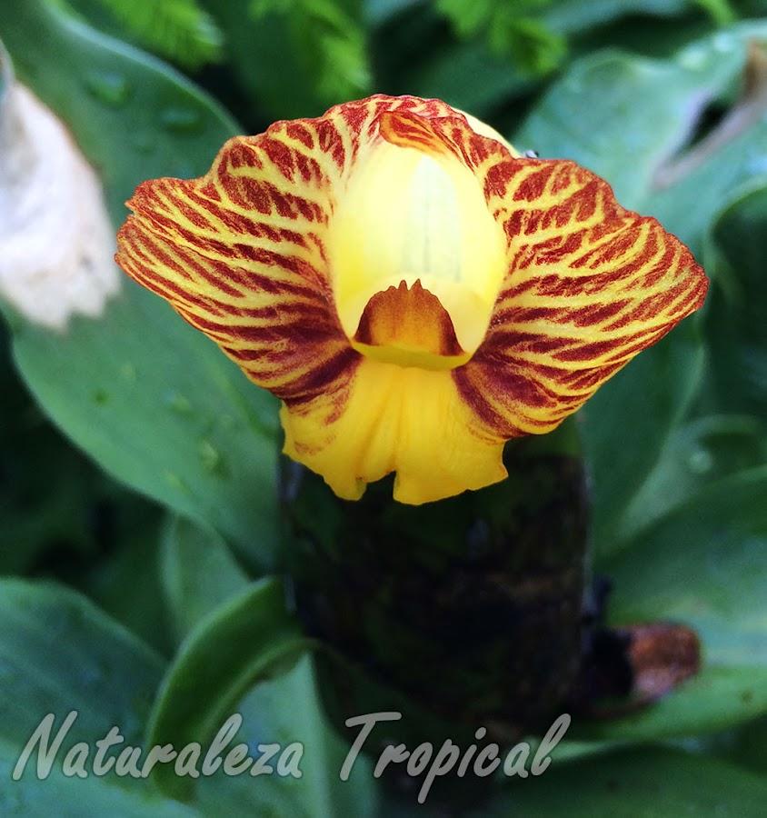 Flor característica de la planta ornamental y medicinal, Costus pictus (caña mexicana)