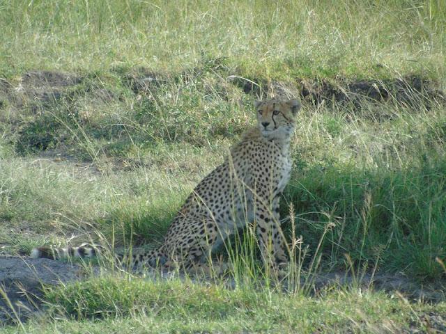 cheetah masai mara kenya africa safari