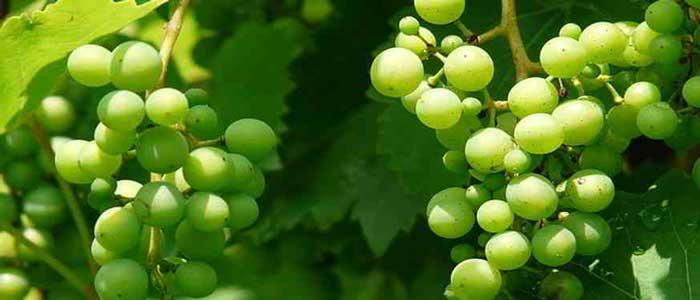 Anggur Dapat Mencegah Kanker Usus Besar