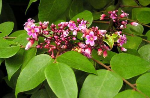 Top 3 cách chữa viêm da cơ địa bằng thảo dược trong vườn