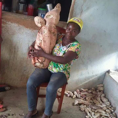 Em Alagoa Grande, agricultora ganha fama por colher macaxeira de 20 kg