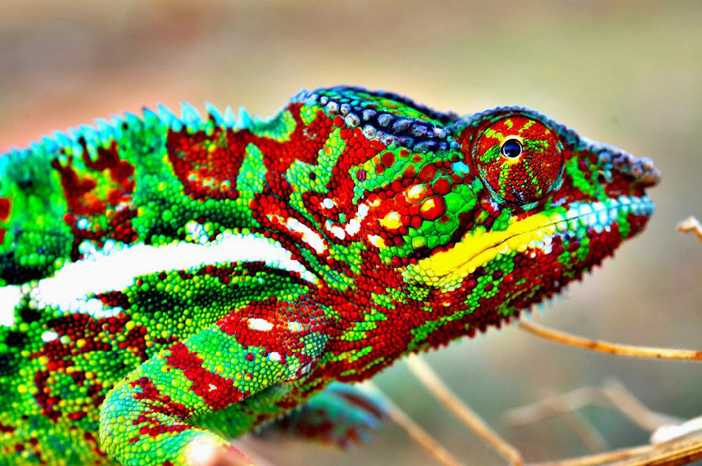 KUMPULAN GAMBAR BUNGLON LUCU WARNA WARNI Gambar DP Hewan Chameleon