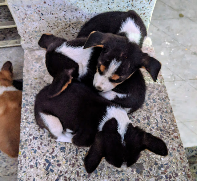 Sourajit Saha With Puppies 4