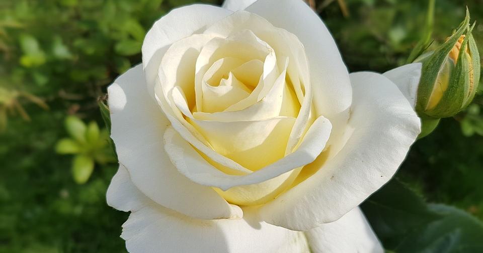 Kumpulan Galeri Gambar Bunga Mawar Putih Tercantik Terindah Terbaru Gambarcoloring