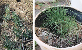 Egyptian onions and chives