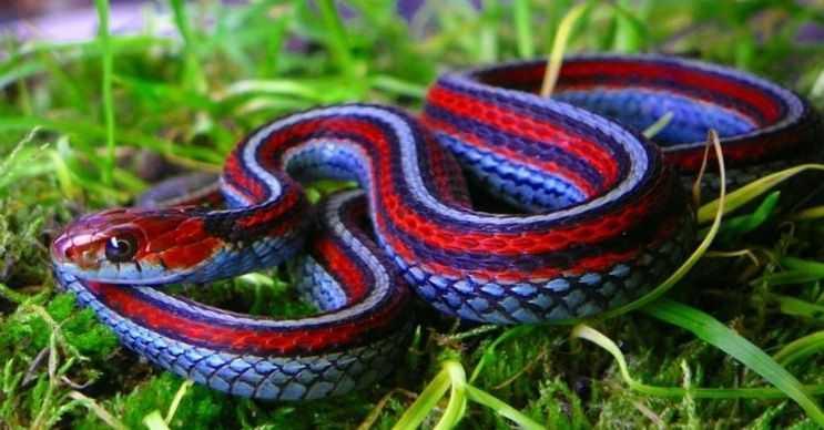 San Francisco garter ya da jartiyer yılanı 90 santimetreye kadar uzayabilir.