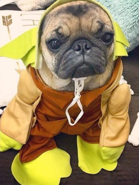 19 em chó cosplay dịp Halloween chất chơi hơn bạn nhiều