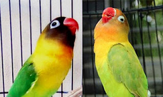 Tips-Bikin-Suara-Kicau-Lovebird-Ngekek-Panjang-dan-Berirama