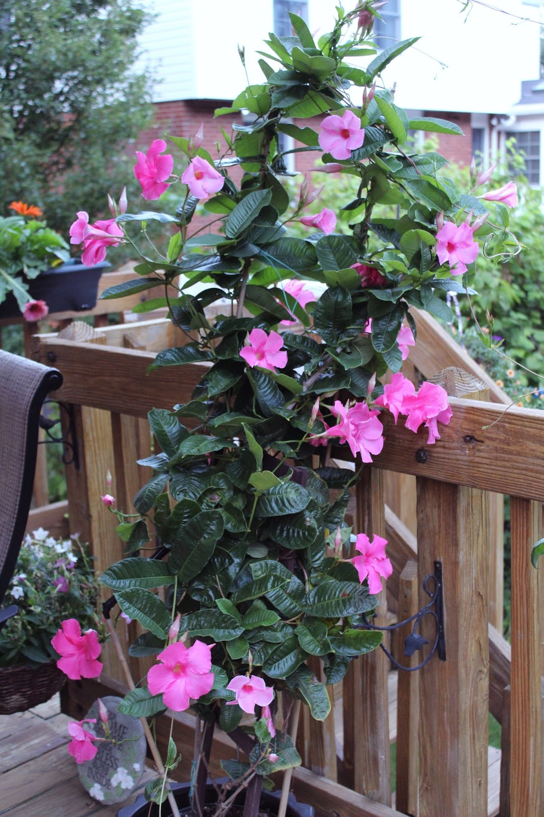 how to grow mandevilla in a pot