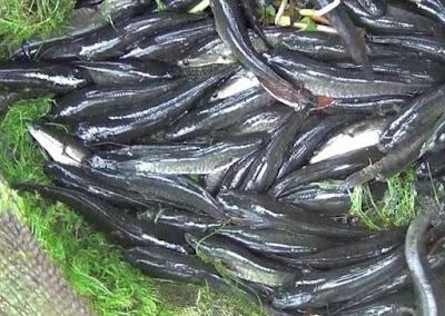 pakan ikan gabus agar cepat besar, ternak ikan gabus dalam drum, bibit ikan gabus, pakan alami ikan gabus, makanan ikan gabus peliharaan,