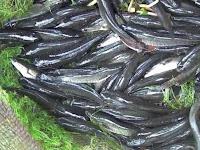 Cara Budidaya Ikan Gabus Kolam Terpal Yang Mudah dan Murah