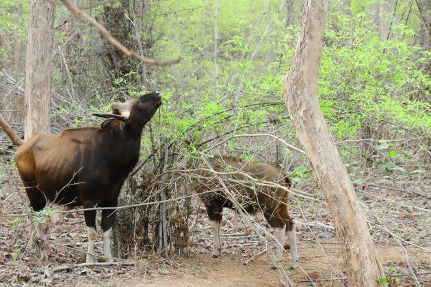 Gaur mother and calf grazing at Tadoba Tiger Reserve, India