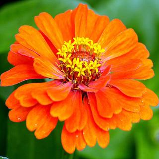 Zinnia naranja - Solo Nuevas