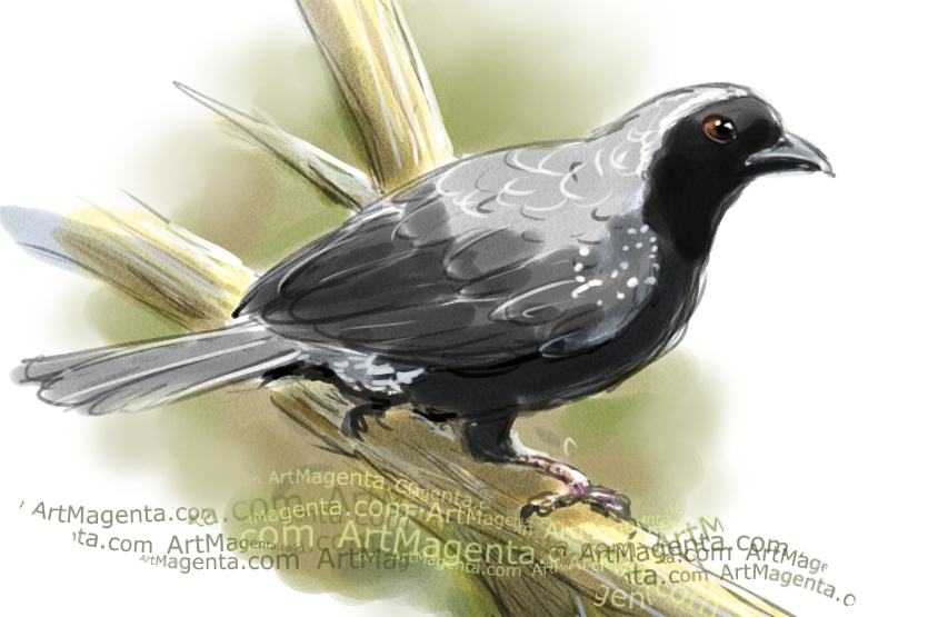 White-breasted Nigrita sketch painting. Bird art drawing by illustrator Artmagenta