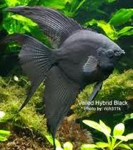 Dunia Ikan Hias - Black Veiltail Manfish