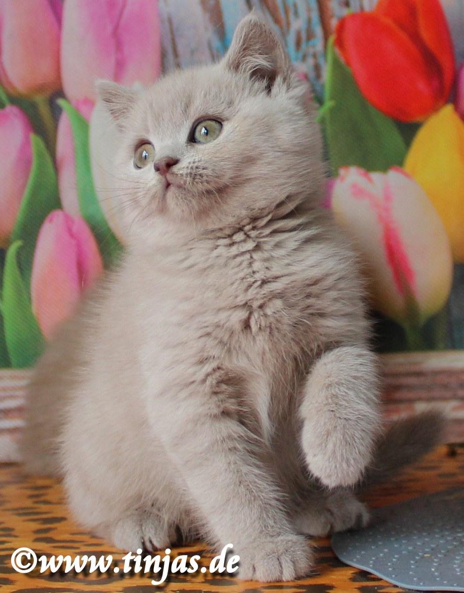 Kitten BKH weiblich lilac 9 Wochen tinjas 2017 05 10 6